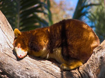 Sleeping. Tree Kangaroo midday nap Stock Image