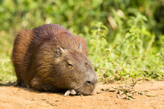 Sleeping Adult Capybara royalty free stock photos