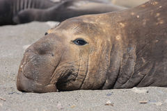 Sleeping adult Male sea Lion. Close up shot of adult Male sea Lion ,in Baja, Mexico, sleeps on the sand in the morning Stock Photography