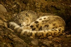 Sleeping adult male snow leopard. Sleeping and cuddling adult male snow leopard Royalty Free Stock Photos