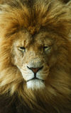 Sleeping  african lion Royalty Free Stock Images