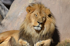 Sleeping African Lion on a Summer Day Stock Photography