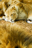 Sleeping african lioness. Shallow dof stock photo