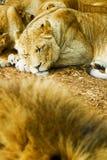 Sleeping african lioness Stock Photo