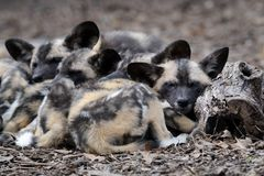 Sleeping African wild dog pups Stock Photography