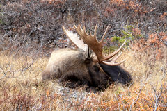 Sleeping Alaska Bull Moose Royalty Free Stock Photo
