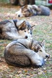 Sleeping Alaskan Malamute Stock Photography