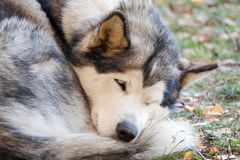Sleeping Alaskan Malamute Stock Images