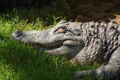 Sleeping alligator Stock Photo