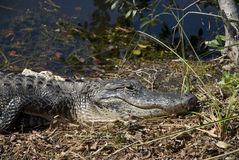 Sleeping alligator Stock Photo