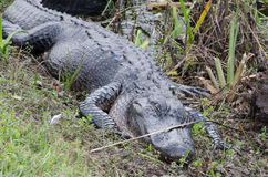 A sleeping alligator Stock Image
