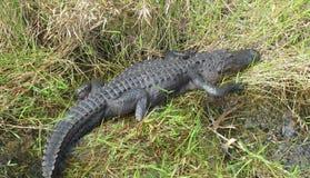 Sleeping Alligator Stock Photos