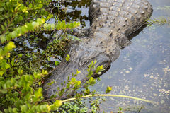 Sleeping Alligator in Florida. A Sleeping Alligator in Everglades National Park, Florida Stock Image