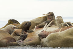 A sleeping alpha walrus male and his females. An big walrus male, sleeping cosily, in the middle of a group female walruses Royalty Free Stock Photo