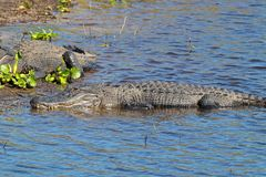 Sleeping American alligator alligator mississippiensis. The American alligator or gator is very common in Florida, you can almost say that if there is water Stock Image