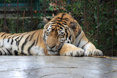 Sleeping Amur tiger Royalty Free Stock Photo