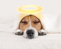 Sleeping angel halo dog in bed Royalty Free Stock Photography