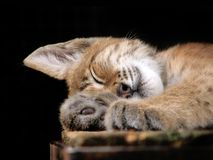 Sleeping animal. Siberian lynx in low-key Stock Images