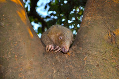 Sleeping animal. This is an animal sleeping on the tree Royalty Free Stock Image