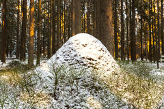 Sleeping anthill in winter fir wood in Karelia Royalty Free Stock Photography