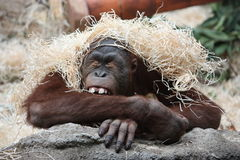 Free Sleeping Ape Royalty Free Stock Photography - 8098167