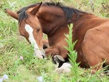 Sleeping arabian foal  in the meadow Stock Photography