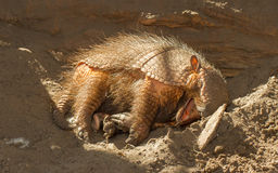 Sleeping armadillo (Chaetophractus villosus) Stock Photos