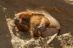 Sleeping armadillo (Chaetophractus villosus). In a dutch zoo Royalty Free Stock Images