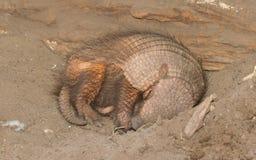 Sleeping armadillo (Chaetophractus villosus) Stock Image