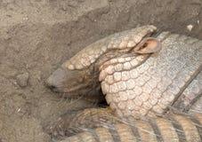 Sleeping armadillo Chaetophractus villosus - Selective focus o. Sleeping armadillo Chaetophractus villosus - Resting in the sand - Selective focus on eye Royalty Free Stock Photo