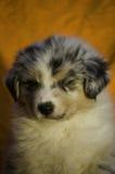 Sleeping aussie puppy. A beautiful puppy of Australian Shepherd that sleeps calmly Stock Photography