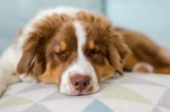 Sleeping australian shepherd. Cute puppy of australian shepherd is sleeping Stock Image