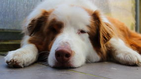 Sleeping Australian Shepherd dog Stock Photography