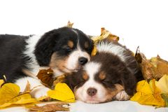 Sleeping australian shepherd puppies isolated on white. Background with autumn leaves royalty free stock photography