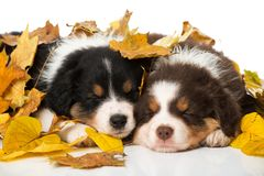 Sleeping australian shepherd puppies isolated on white. Background with autumn leaves royalty free stock photos