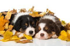 Sleeping australian shepherd puppies isolated on white. Background with autumn leaves stock photography