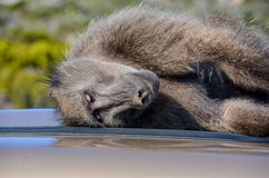 Sleeping Baboon. A Chacma baboon having a snooze on a warm car roof in Southern Africa Stock Image