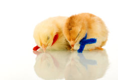 Sleeping baby chickens - isolated with reflection Royalty Free Stock Images