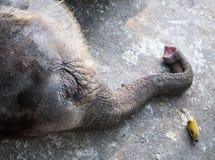 Sleeping baby elephant Stock Photo
