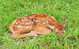 Sleeping Baby Elk Stock Image