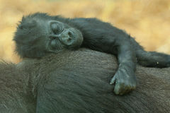 Sleeping baby gorilla Royalty Free Stock Images