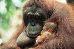 Sleeping Baby Orangutan Royalty Free Stock Photo