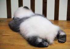 Sleeping baby panda stock photo