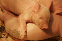 Sleeping baby piglet! Royalty Free Stock Photo