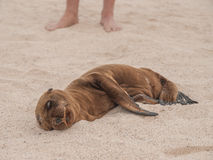 Sleeping Baby Sea Lion Stock Photos