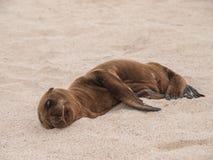 Sleeping Baby Sea Lion Stock Image