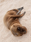 Sleeping Baby Sea Lion Stock Images