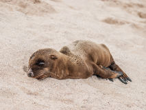 Sleeping Baby Sea Lion Royalty Free Stock Photography