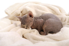 Sleeping baby sphynx cat Stock Image