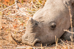 Sleeping baby White rhino. Stock Photos